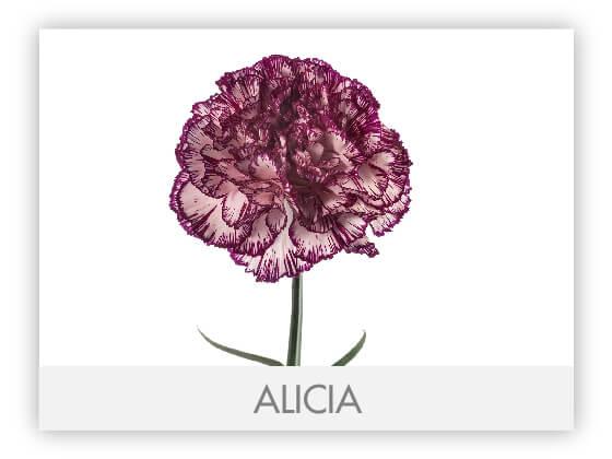ALICIA10