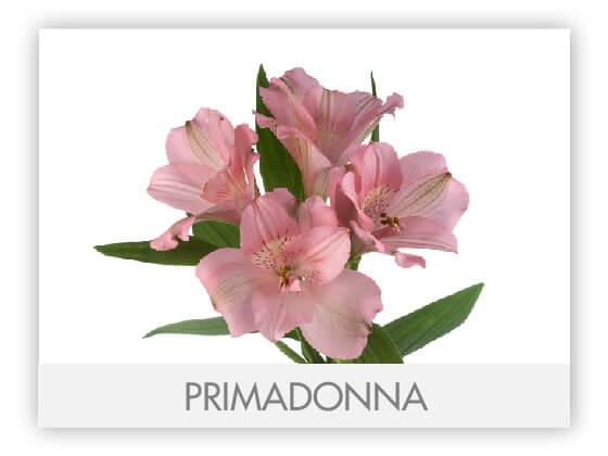 PRIMADONNA10