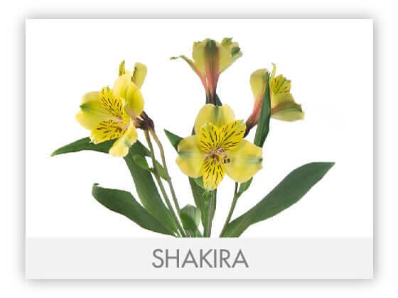 SHAKIRA12