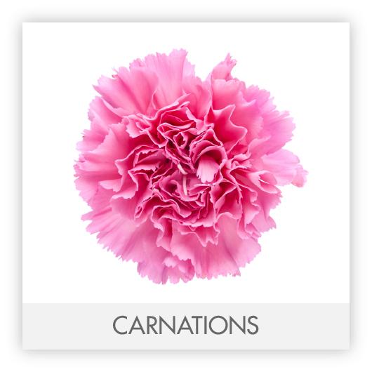 CARNATIONS-100