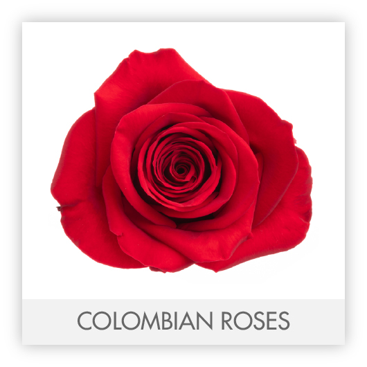 COLOMBIAN ROSES-100