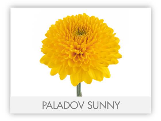 PALADOV SUNNY -100