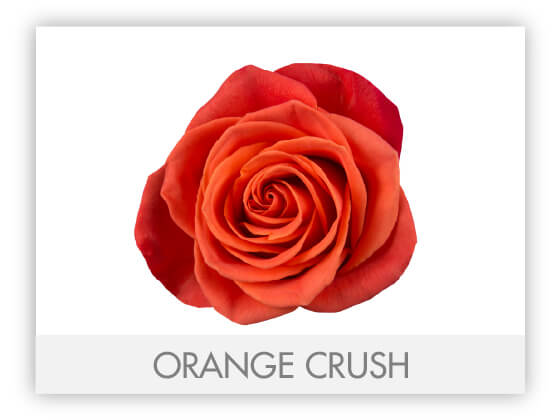 ORANGE CRUSH 10