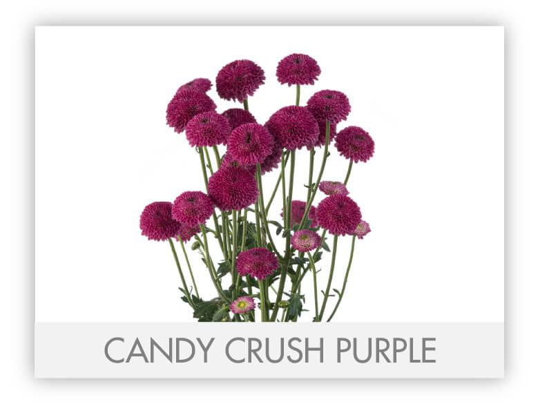 CANDY CRUSH PURPLE