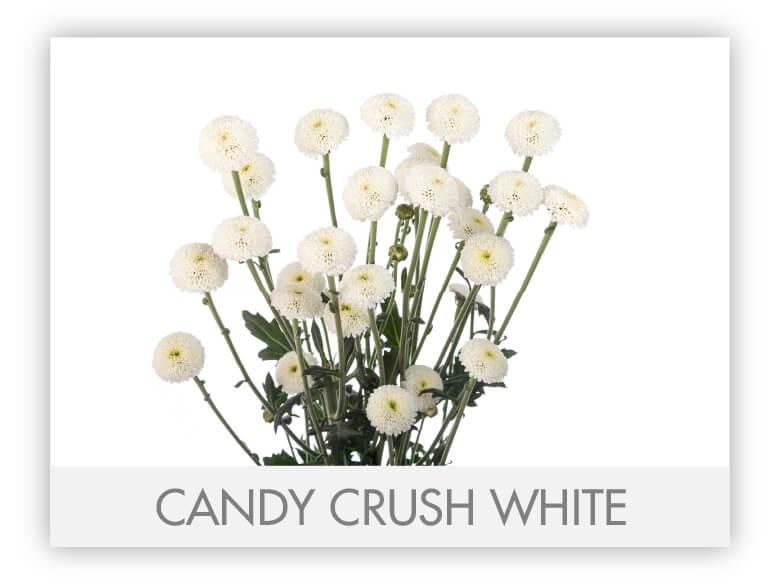 CANDY CRUSH WHITE