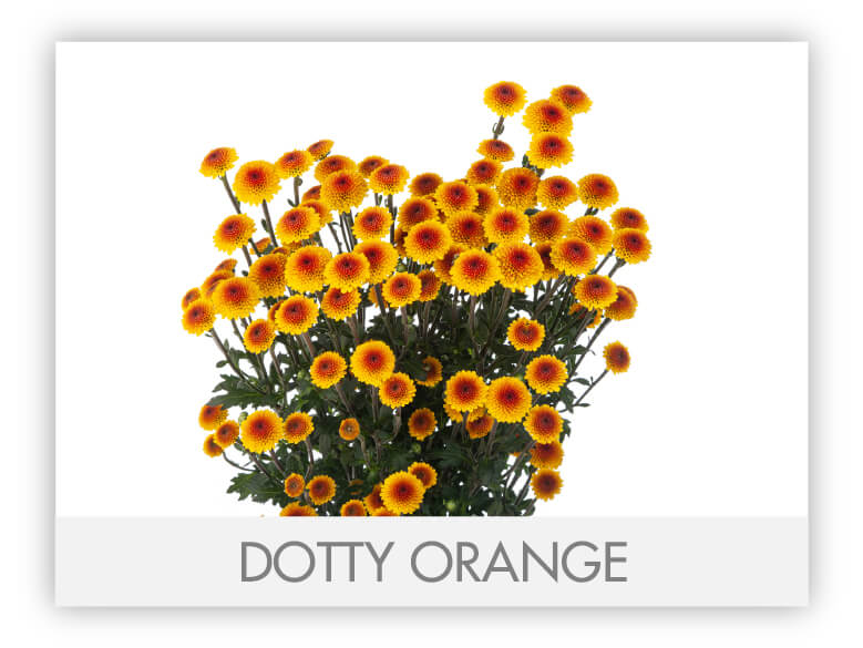 DOTTY ORANGE