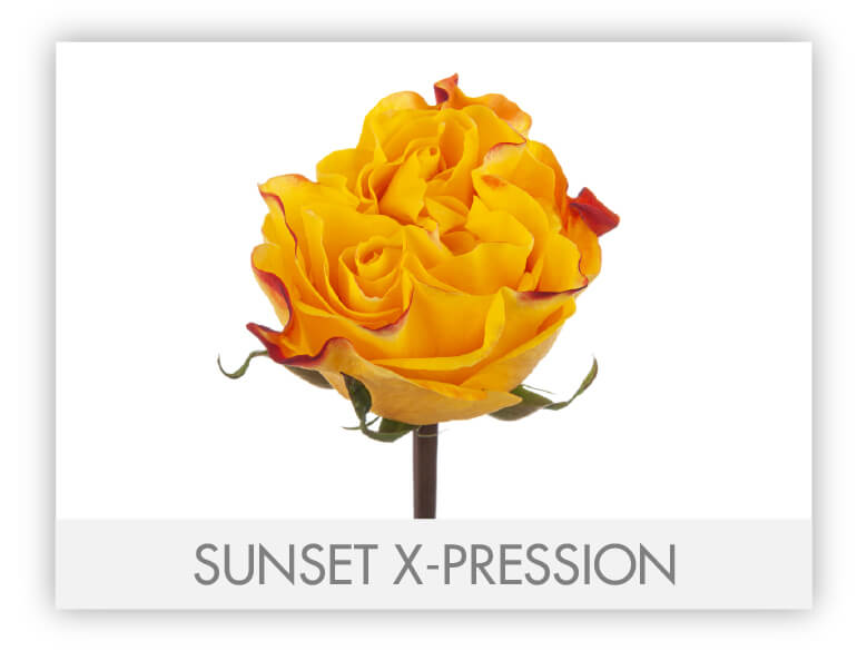 Sunset X-Pression-N